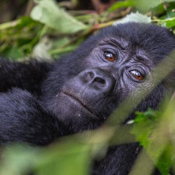 Uganda – Retro cz.3 – Goryle górskie czyli to, po co do Ugandy się jedzie