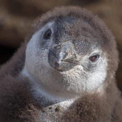 """Punta Arenas – """"Happy Feet"""" na żywo"""