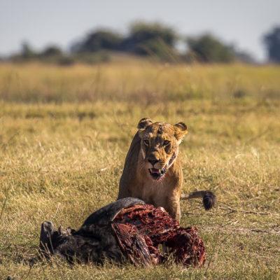 Botswana – polowanie na bawoła w Chobe